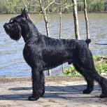 Ризеншнауцер щенки чёрного окраса, Тамбов